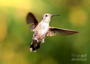 hummingbird--suspended-in-mid-air-carol-groenen
